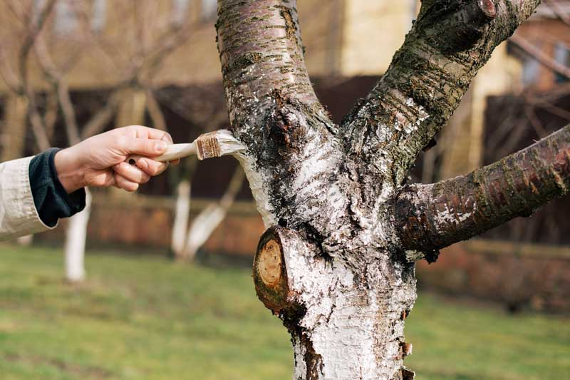 A human hand uses a paint brush to apply thinned latex paint to the trunk of a fruit tree.