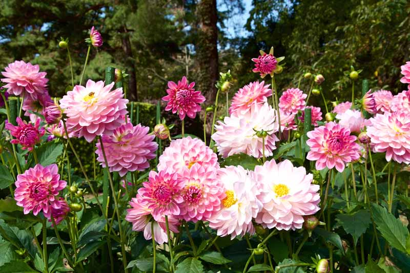 Fancy double petaled pink and white dahlias in a mass planting.