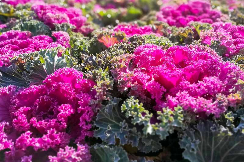 Closeup horizontal image of pink and green curly-leafed ornamental kale.