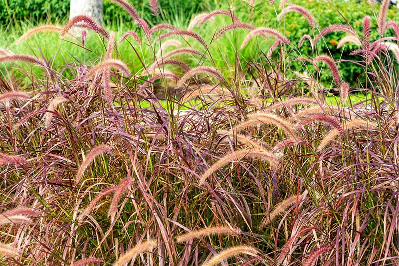 Tall purple fountain grass with seed heads bending in the breeze is growing in the foreground, with bright green foliage in the background.