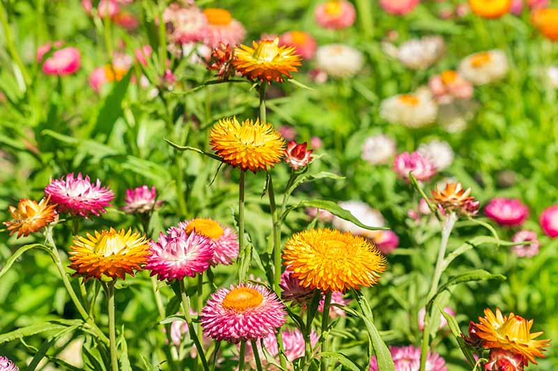 Horizontal image of pink and orange strawflowers with pointed petals and green leaves, growing in bright sunlight.
