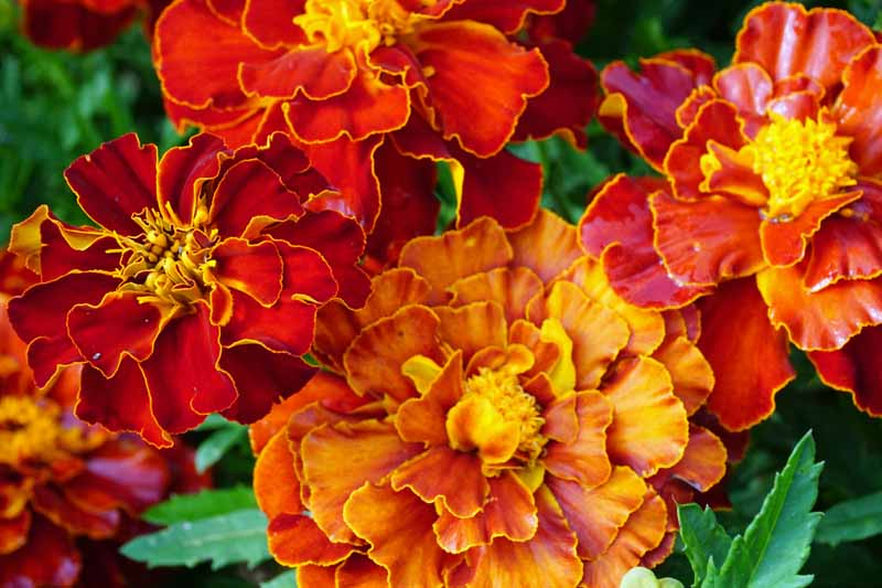 Closeup image of red, orange, and yellow marigold blooms.