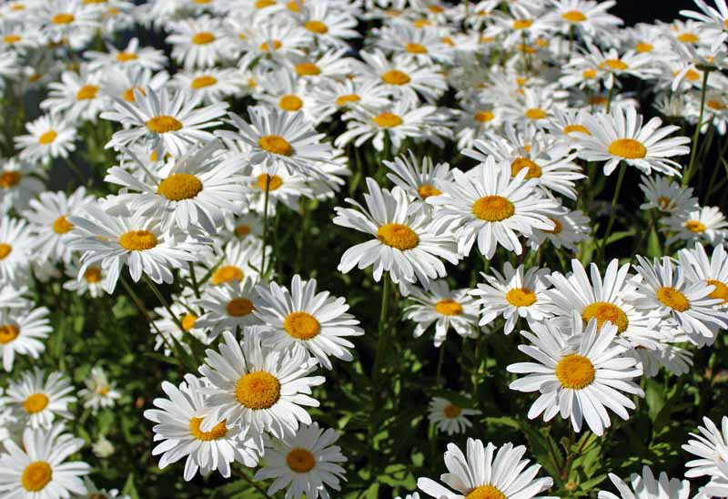 A mass planting of white petaled Shasta daisies in bloom.