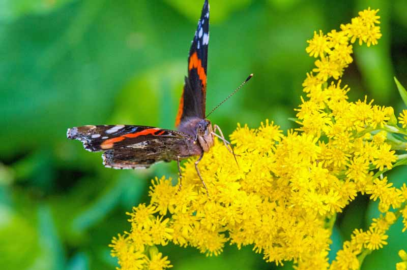Macro shot of a butterfly on goldenrod blooms.