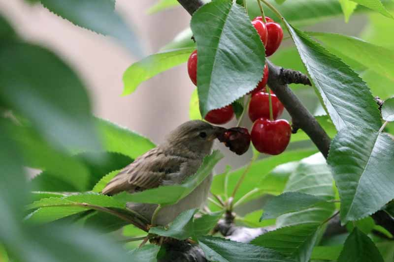 A sparrow sitting in a cherry tree eating ripe fruit.