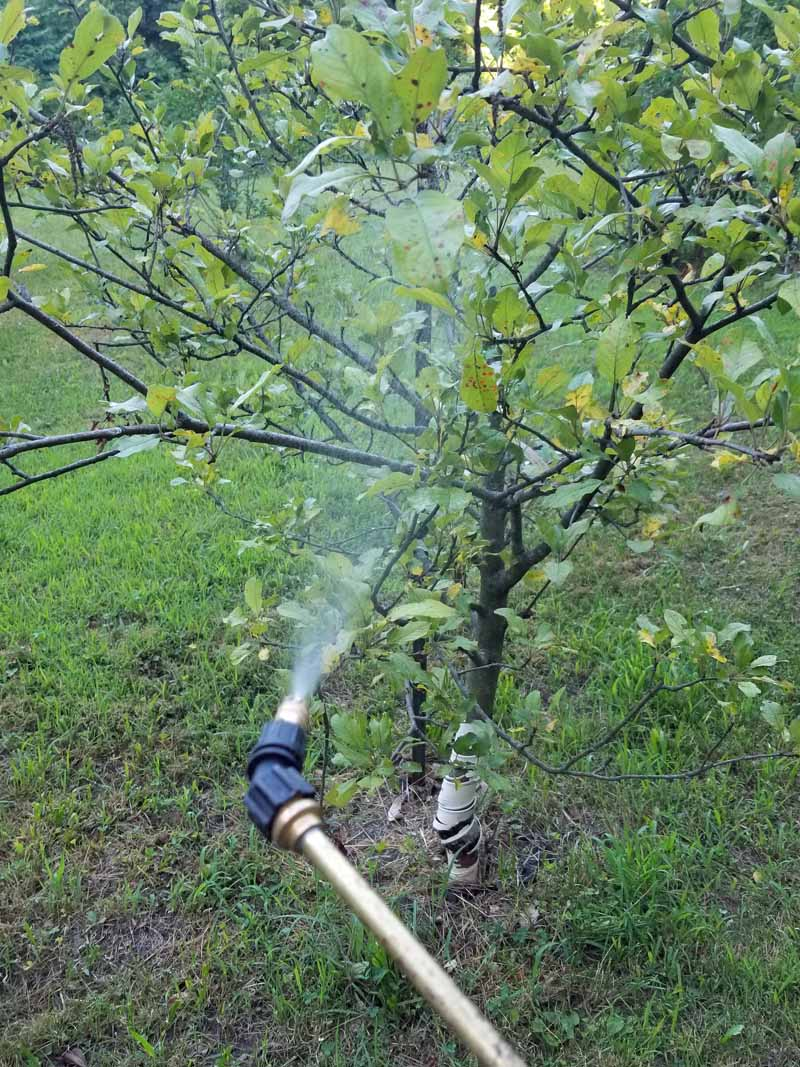 A wand from a pump sprayer is used to apply to apple trees infected with Cedar Apple Rust.