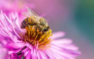 Close up of a bee gathering nectar from a pink flower.