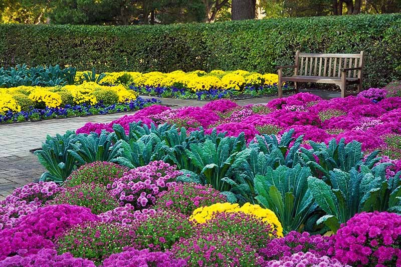 Horizontal image of brightly colored pink, purple, and yellow mums and blue-green kale, with a garden bench and a path, and green manicured hedges in the background.