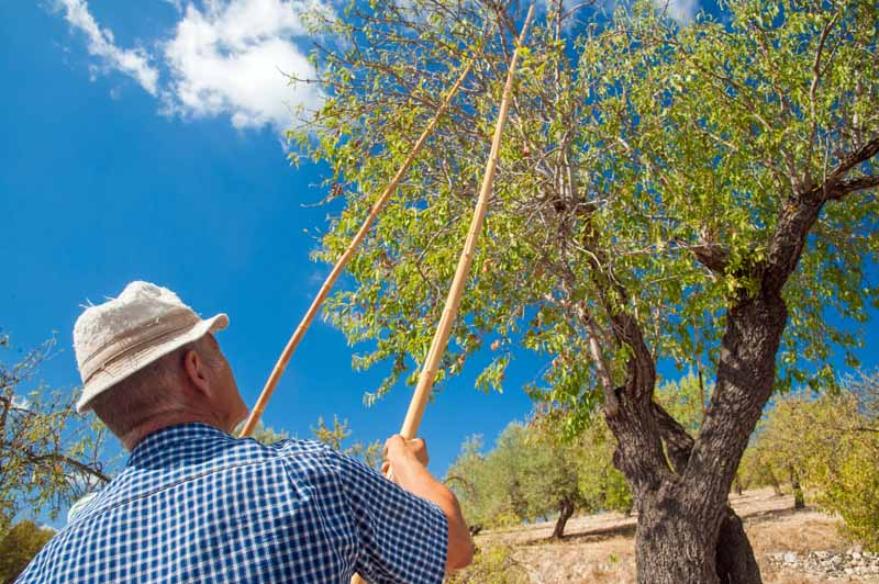 A farmer uses two bamboo poles to shake branches of an almond tree to knock off drupes.