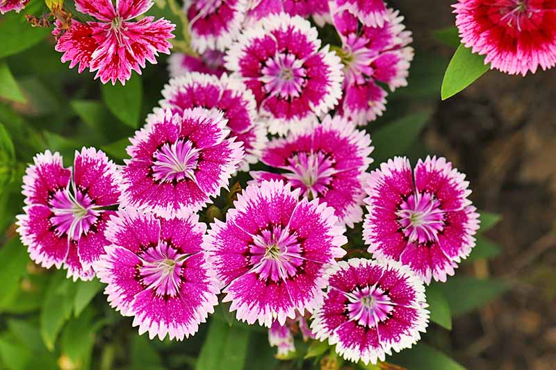 Horizontal overhead image of pink and white dianthus flowers with yellow-green leaves.