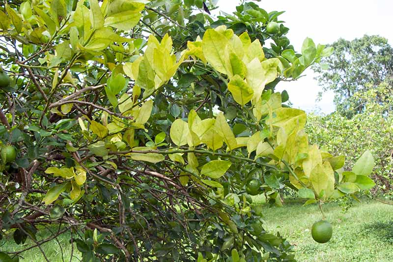 Vertical image of a tree infected with citrus greening disease, with discolored leaves, growing in an orchard with green grass and a cloudy sky in the background.