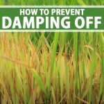 Spouting plants that are dying and showing signs of damping off.