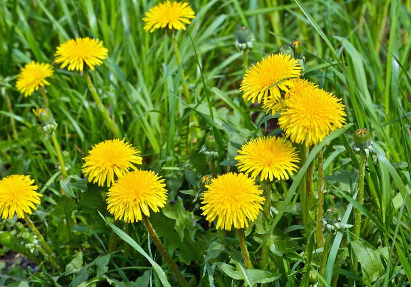 Bright yellow dandelion flowers on a background of green meadow grasses.