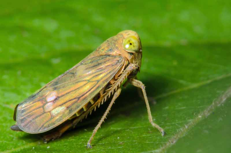 A macro shot of tiny brown and green leafhopper sitting on a green leaf.