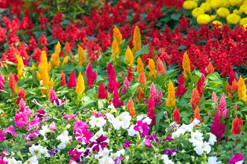Celosia, salvia, petunia, marigold blooming in a later summer flower garden.