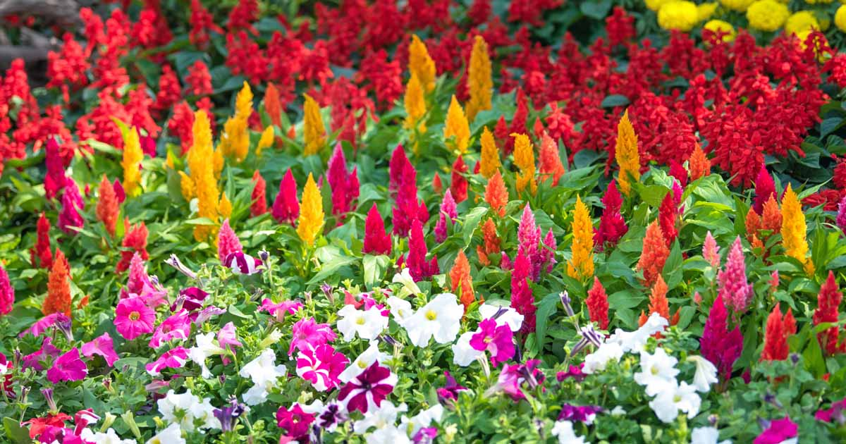 The 15 Best Annuals For Late Summer Color Gardener S Path