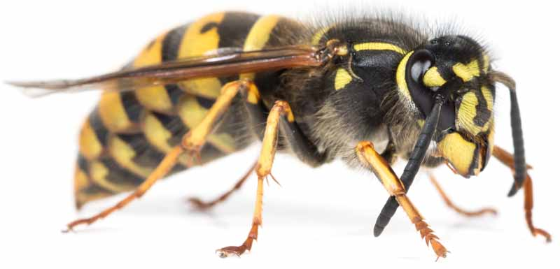 Macro shot of a A queen Vespula social wasp or yellowjacket on a white, isolated background.
