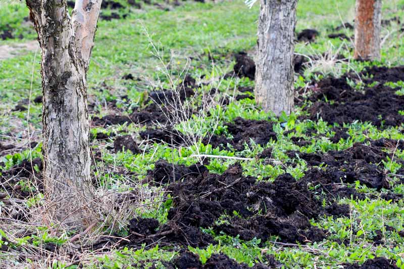 Manure added to an orchard infected with cotton root rot.
