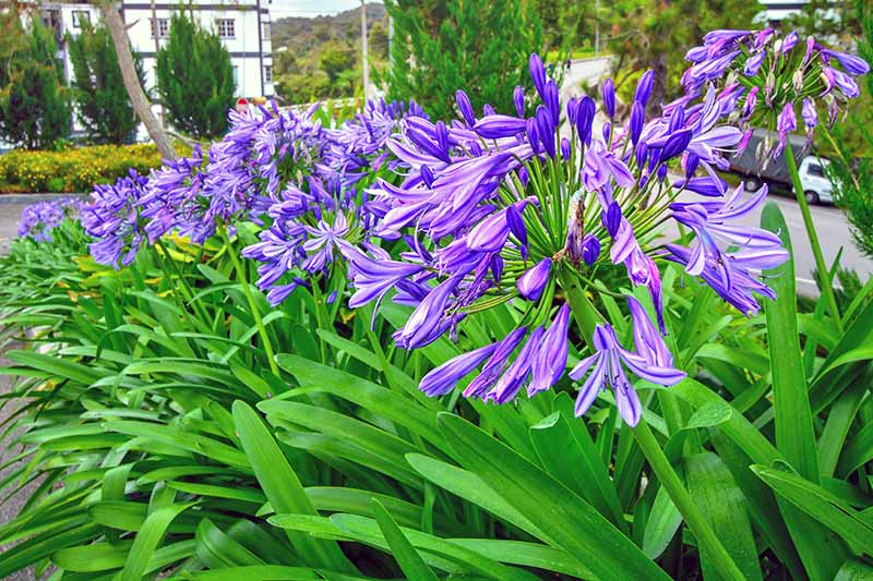 Purple agapanthus flower clusters on long, green stalks, with green leaves.