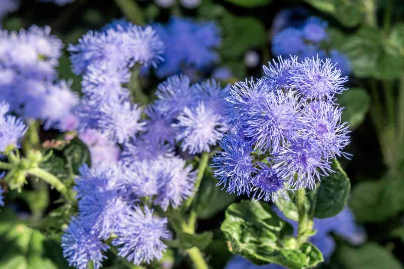 Purple Ageratum or Flossflowers in bloom.