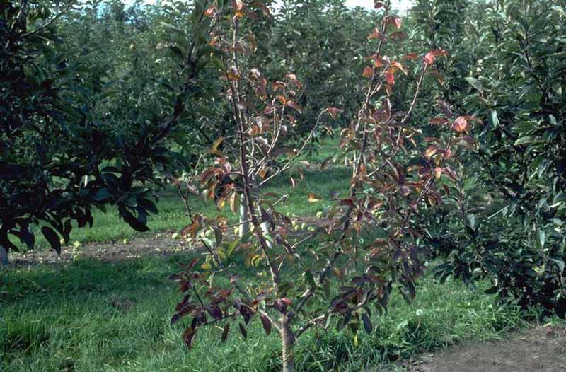 An apple tree loosing leaves because of an Phytophthora Root Rot infection.