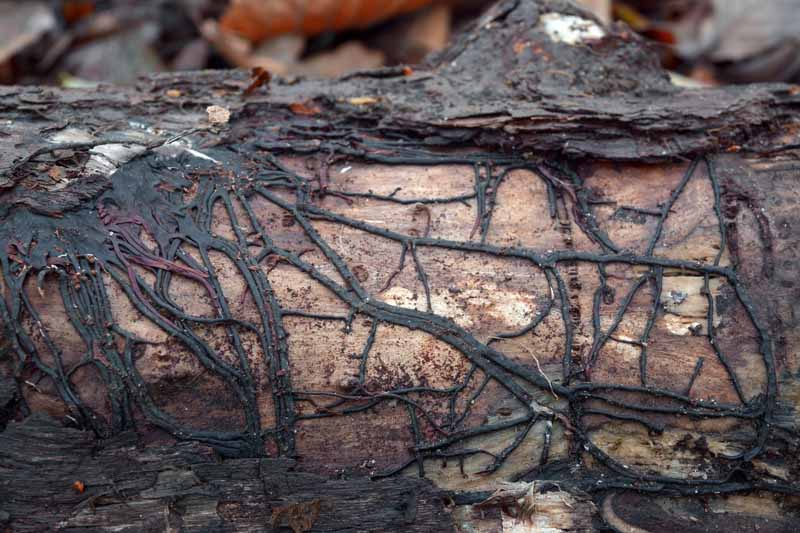 Black rmillaria mycelial cords on a tree trunk.