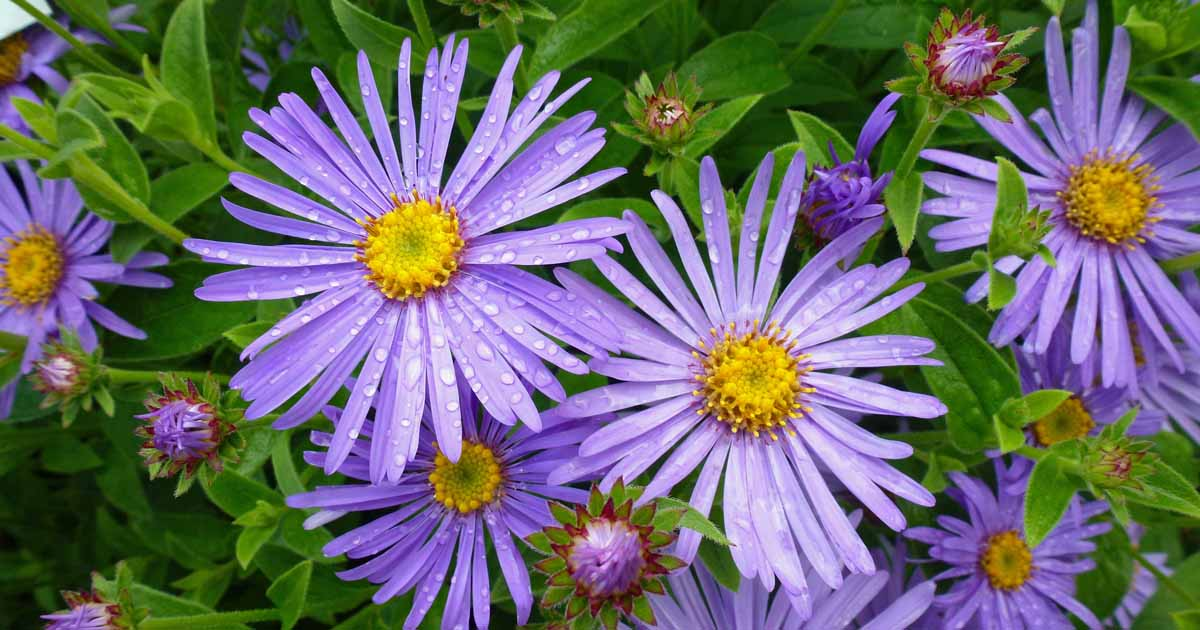 Close up of blue purple aster flowers with yellow centers.