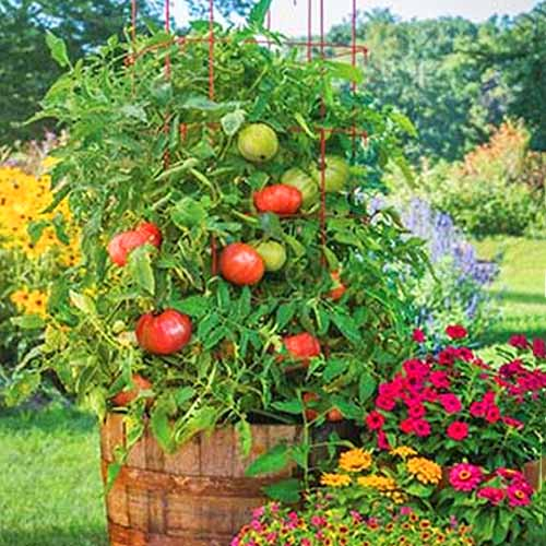 A wooden barrel of 'Atlas Hybrid' tomato plants, next to pink and yellow flowers, with a green lawn and more plants and trees in the background.