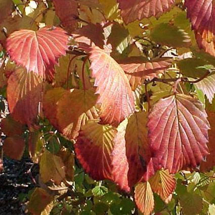 Red fall foliage of Autumn Jazz Arrowwood Viburnum