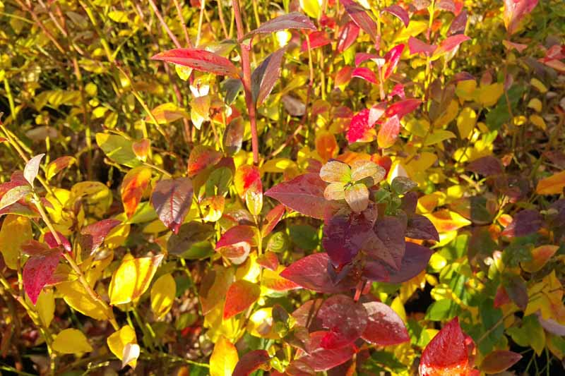 Highbush blueberry bush with red and yellow fall foliage.