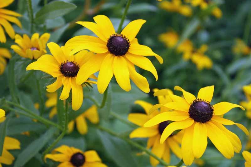 Yellow Black-Eyed Susan (Rudbeckia hirta) flowers close up.