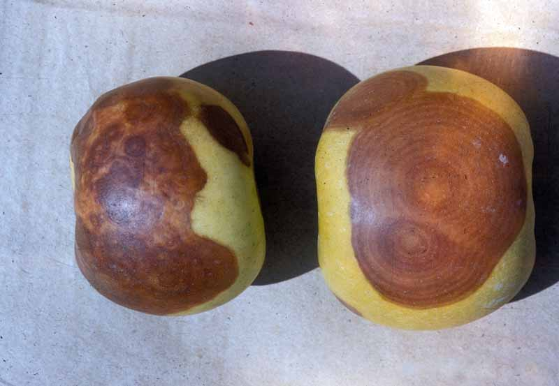 Top down view of two apples showing Black rot (Botryosphaeria obtusa).