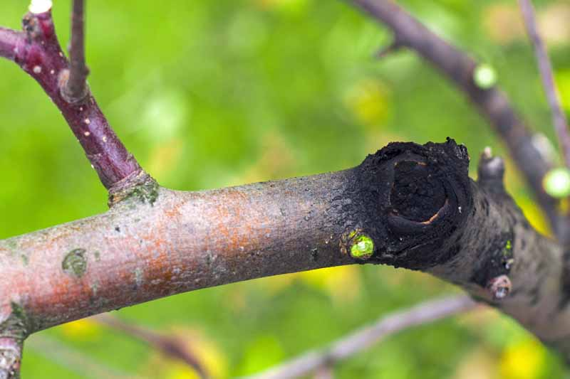 Close up of a pruned branch showing black rot.