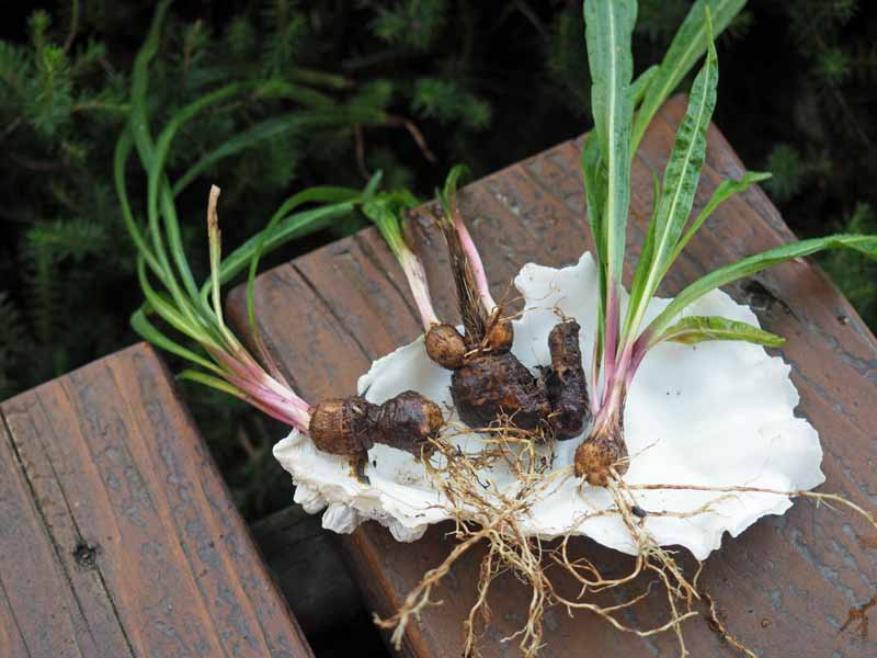 Dug up blazing star (Liatris spicata) bulbs laying on a wooden table for dividing.