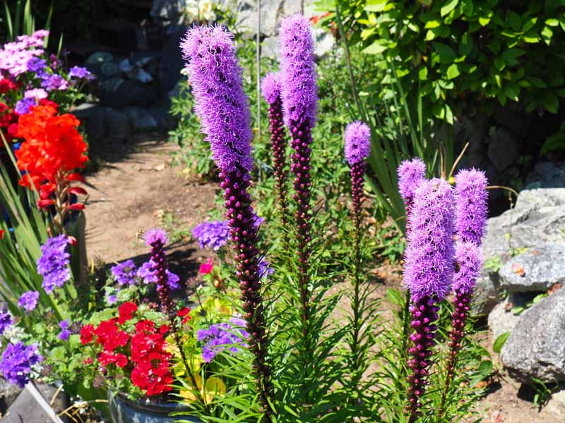 Purple flower stalks of blazing start grow with other flowering perennials in a cottage garden.