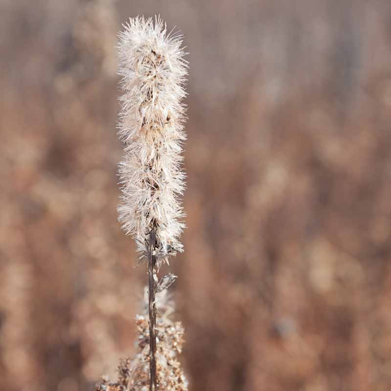 The dead seed head of a blazing star flower.