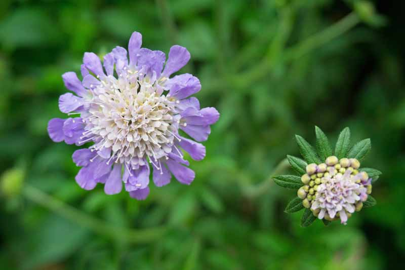 Close up of a blue pincushion flower with a white center.