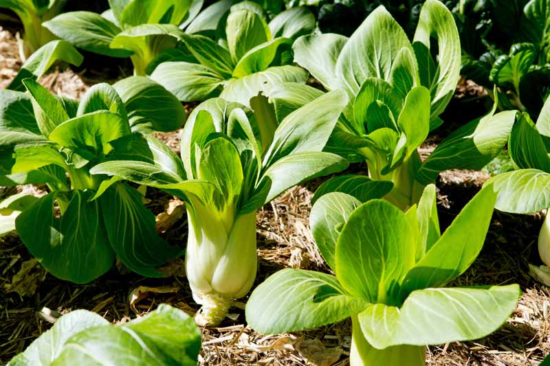 Bok choy growing in a veggie patch.