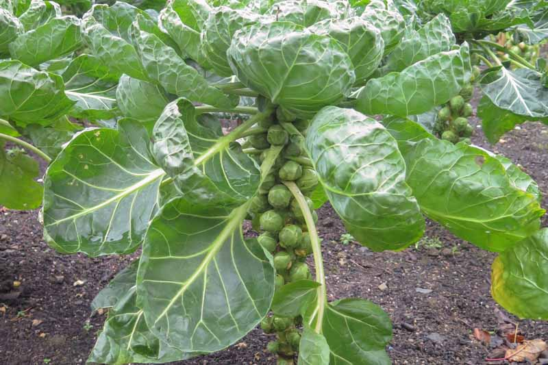 Close up of a stalk of Brussels sprouts growing in an autumn veggie patch.