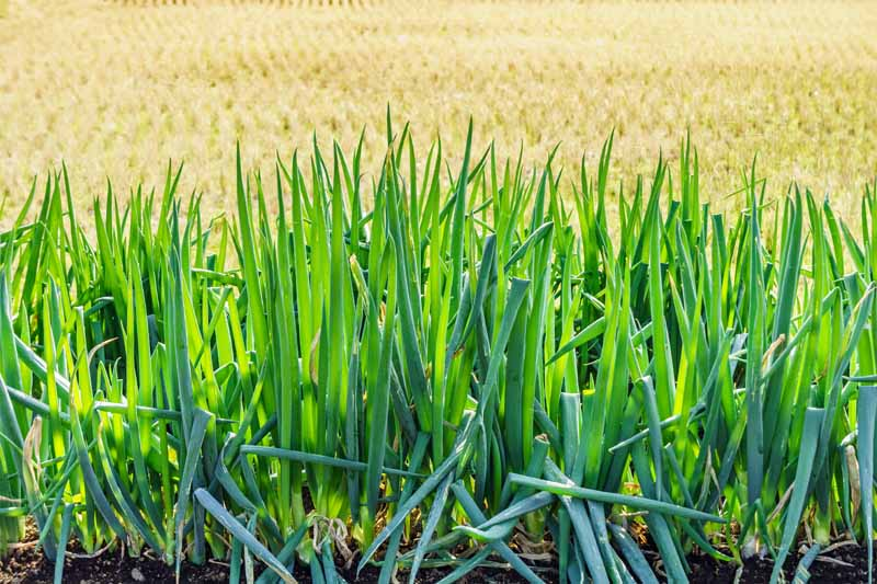 Green bunching onions in an autumn garden.