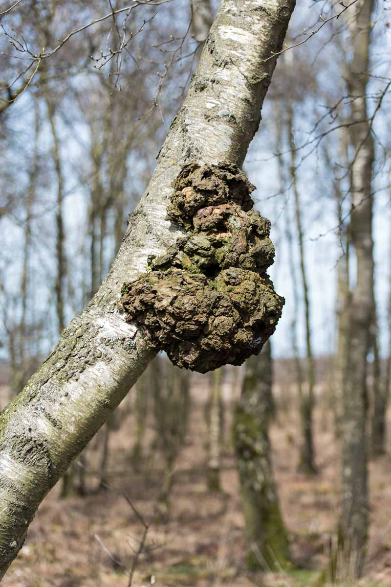 Burl on young birch tree in a forest setting.