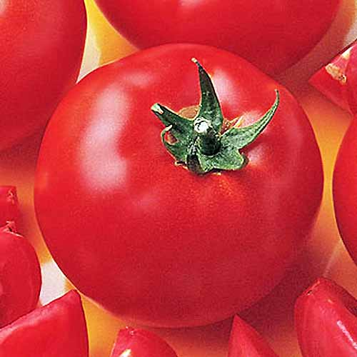 Closeup square overhead image of a red 'Bush Early Girl Hybrid Tomato' with green stem, surrounded by more whole and sliced tomatoes on an orange surface.