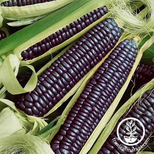 Ears of dark blue or black 'Blue Hopi' corn.