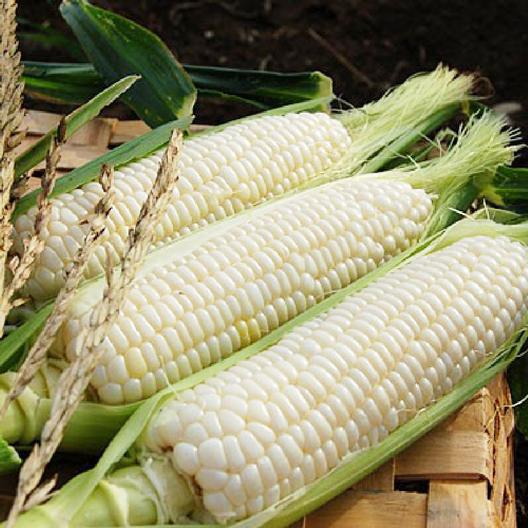 Fresh, raw corn on the cob from the Silver Queen Hybrid variety. Close up.