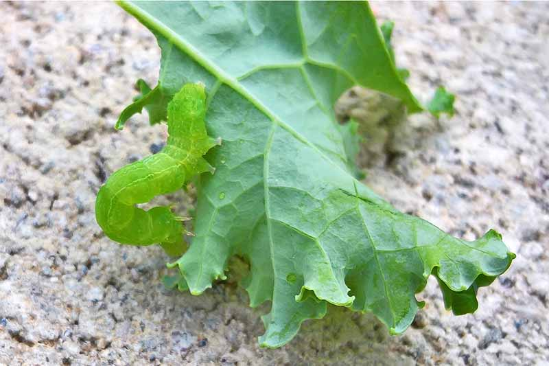 Closeup of a light green cabbage looper on a green kale leaf, on brown sandy soil.