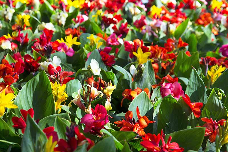 Many maroon, red, yellow, orange, and white canna lily flowers with green leaves.