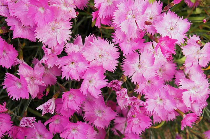 Cheddar Pinks, Dianthus gratianopolitanus growing in a cluster and in bloom. Close up.