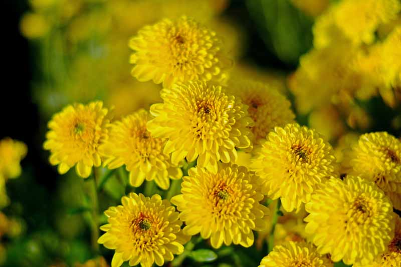 Bright yellow Chrysanthemum flowers in bloom. Close up.