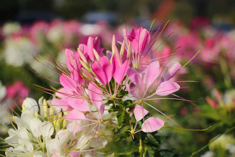 Close up of the pink and white blossums of the spider flower or Cleome (Cleome hassleriana).