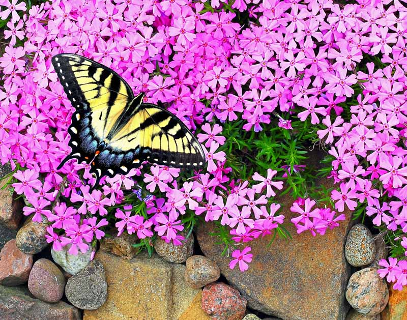 Horizontal image of a swallowtail butterfly with yellow and black wings pollinating pink phlox flowers growing over a rock wall.